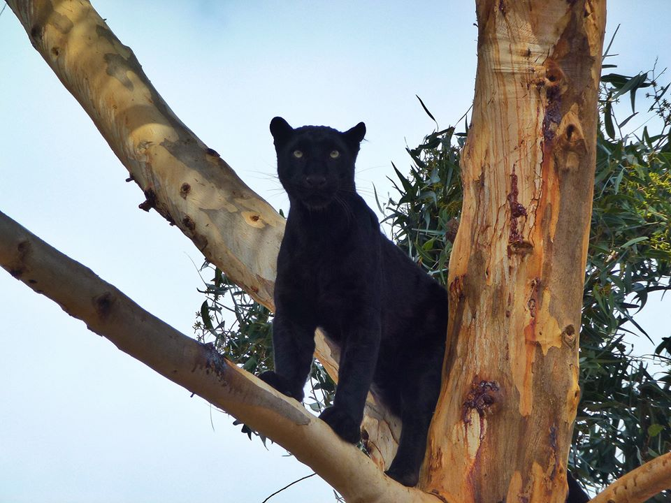 Black Leopard, Hermanus