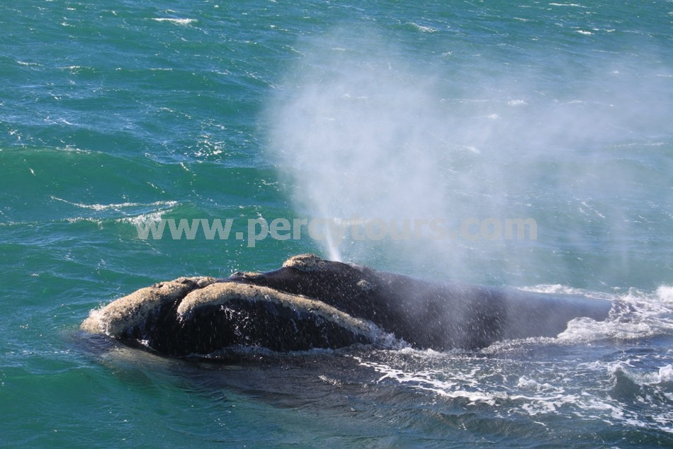 Whale spraying, Hermanus