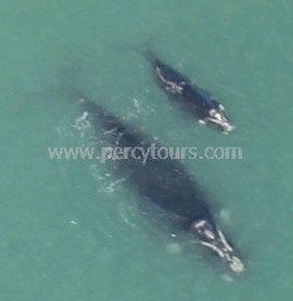 Cessna plane flights over Mother and baby whales, Hermanus