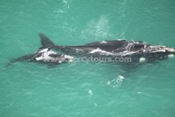 Whales viewed from Cessna plane, Hermanus, near Cape Town, South Africa