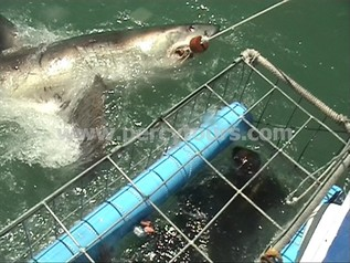 Cage Diving with Great White Shark, Hermanus