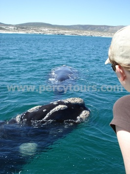 Whale watching boat trips, Hermanus