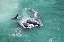 Mating group of Whales, aerial view, Hermanus