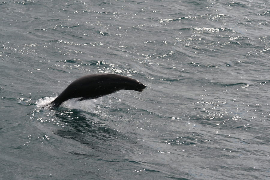 Cape Fur Seal, Hermanus