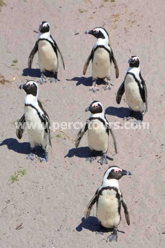 Penguin colony near Hermanus and Cape Town