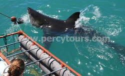 Great White Shark cage diving trips, Hermanus