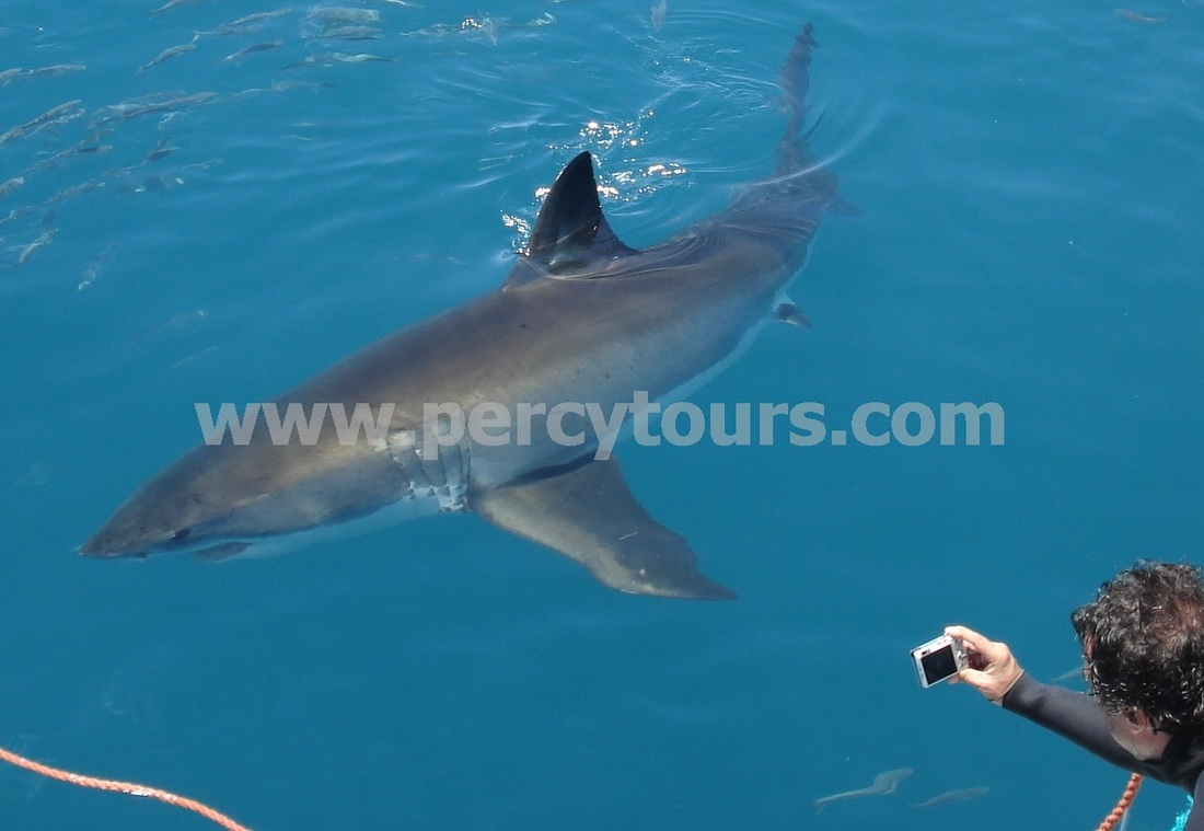 Great White Shark cage diving, Gansbaai