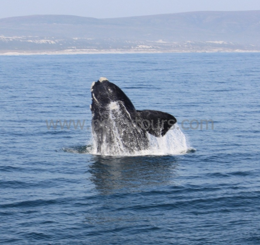 Whale breaching, watching from the boat, Hermanus