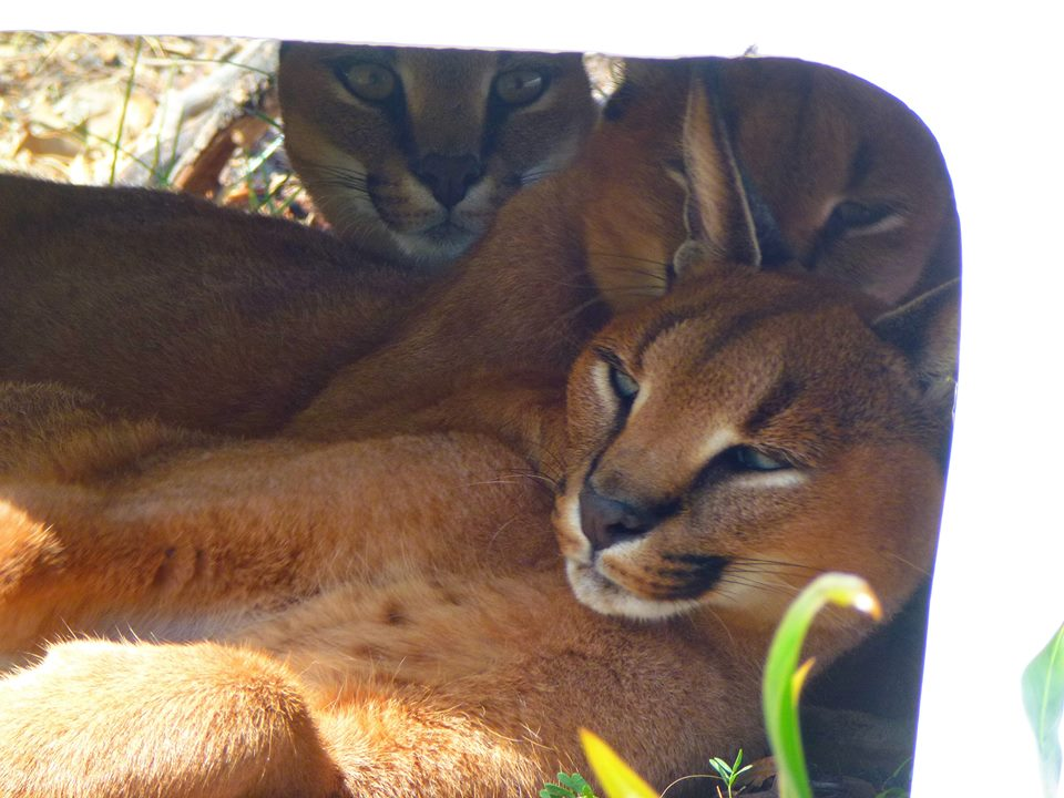Caracal at Big Cat Sanctuary near Hermanus