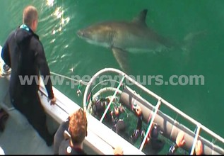 Great White Shark cage diving, Hermanus