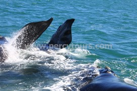 Whale flippers splashing, Hermanus