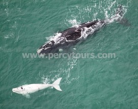 Rare white baby whale with mother whale, Hermanus