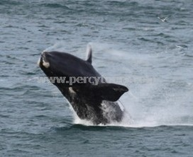 Breaching jumping Southern Right Whale watching, Hermanus