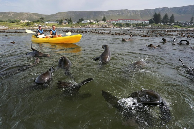 Sea Kayaking with the playful Cape Fur Seals at Hermanus, South Africa