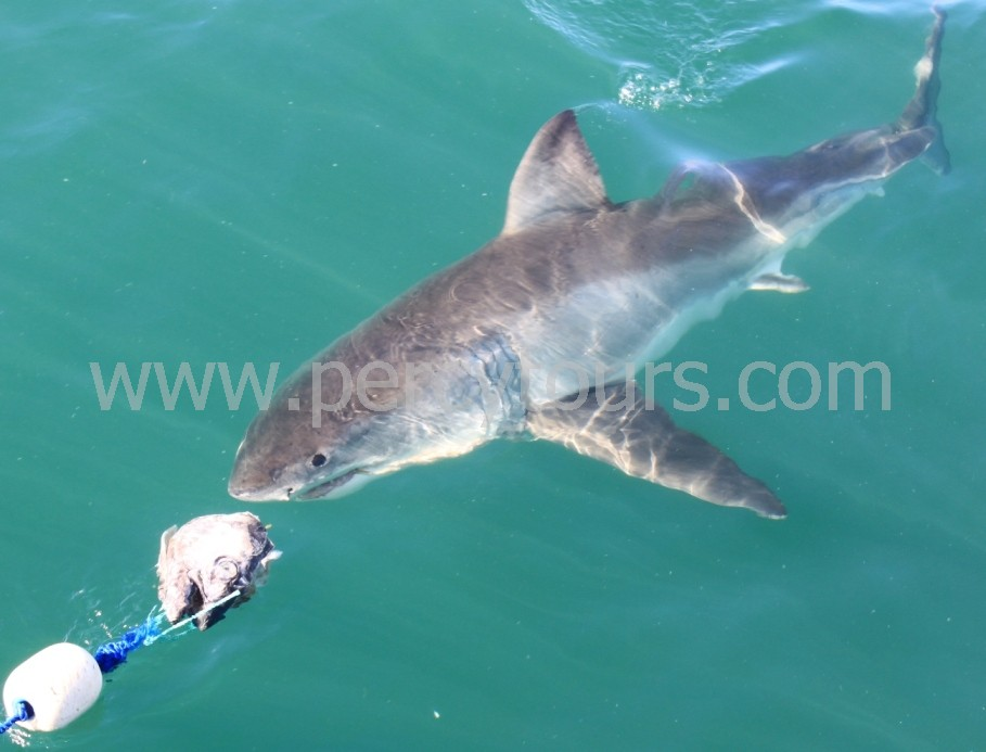 Great White Shark cage diving in Hermanus, South Africa