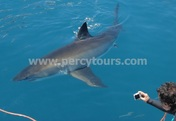 Boat trips to view Great White Sharks, Gansbaai