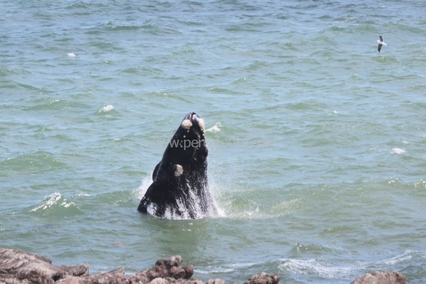 Baby Whale breaching in Hermanus