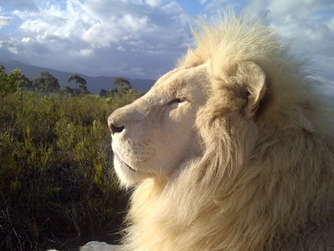 White Lion, Hermanus