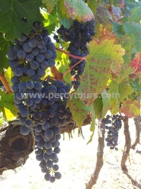 Red grapes on the vine, Stellenbosch