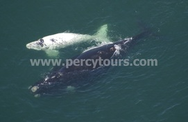 Rare white baby Southern Right Whale with mother Whale, Hermanus