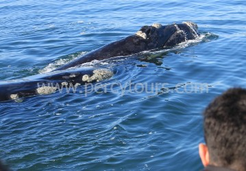 Whale watching in Hermanus is incredible, with many close-up encounters from June to Dec each year