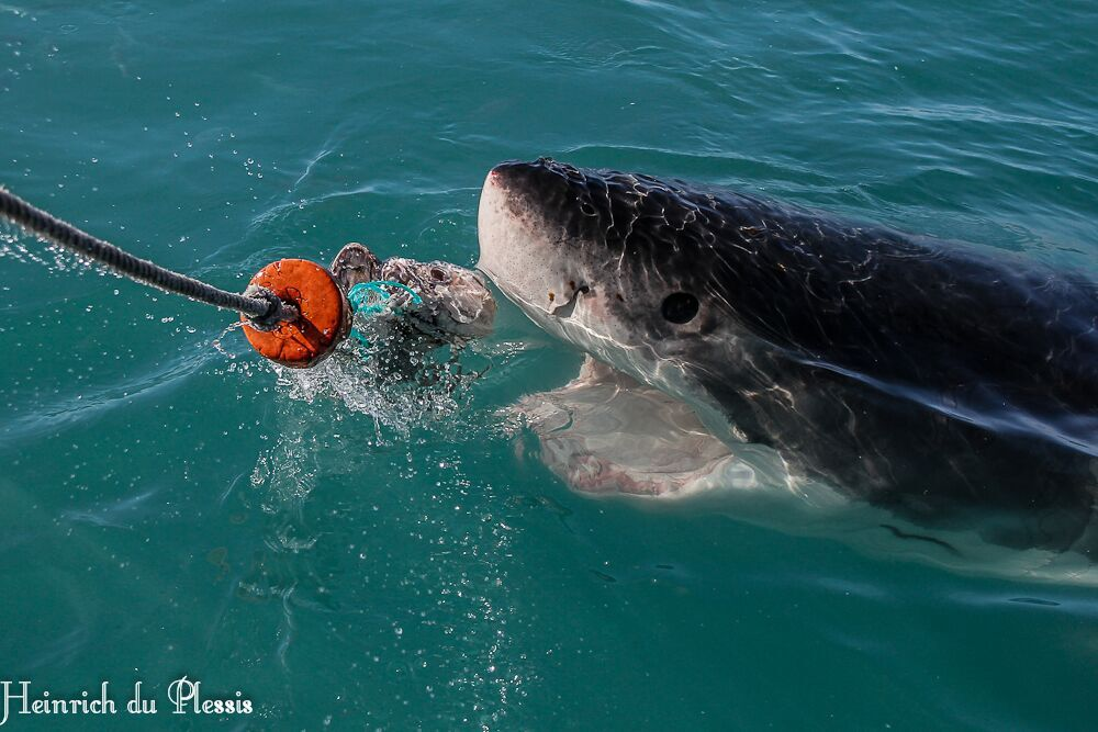 Great White Shark cage diving and viewing Hermanus South Africa