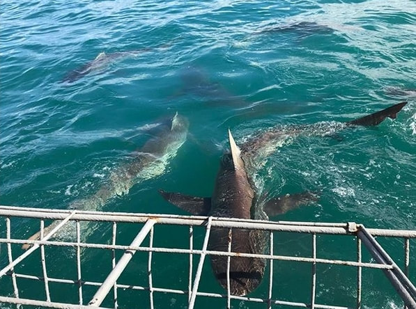 Copper Shark cage diving with the Shark boat companies at Gansbaai near Hermanus South Africa