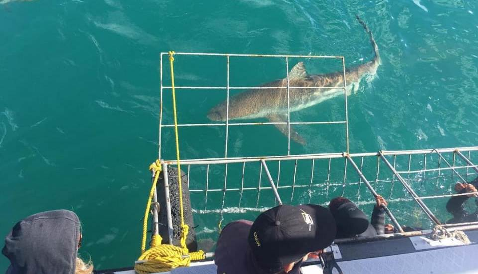 Copper Shark cage diving in Hermanus South Africa