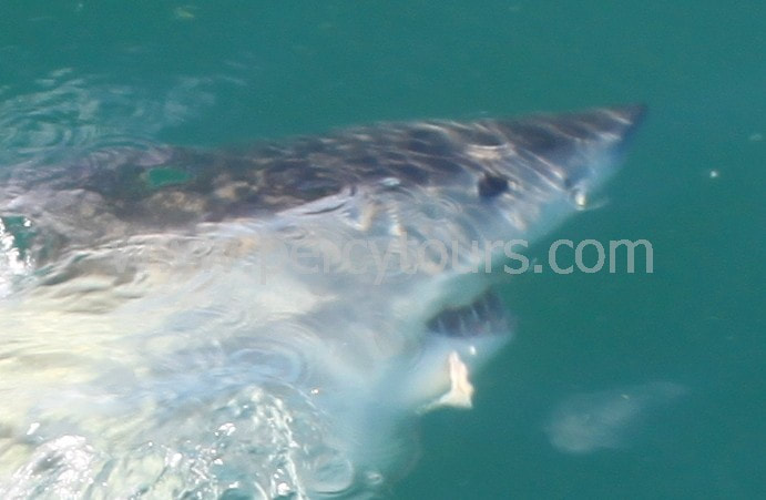 Great White Shark cage diving Hermanus South Africa