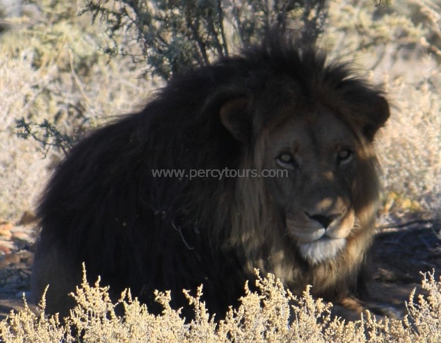 Safari Lion encounters, near Cape Town