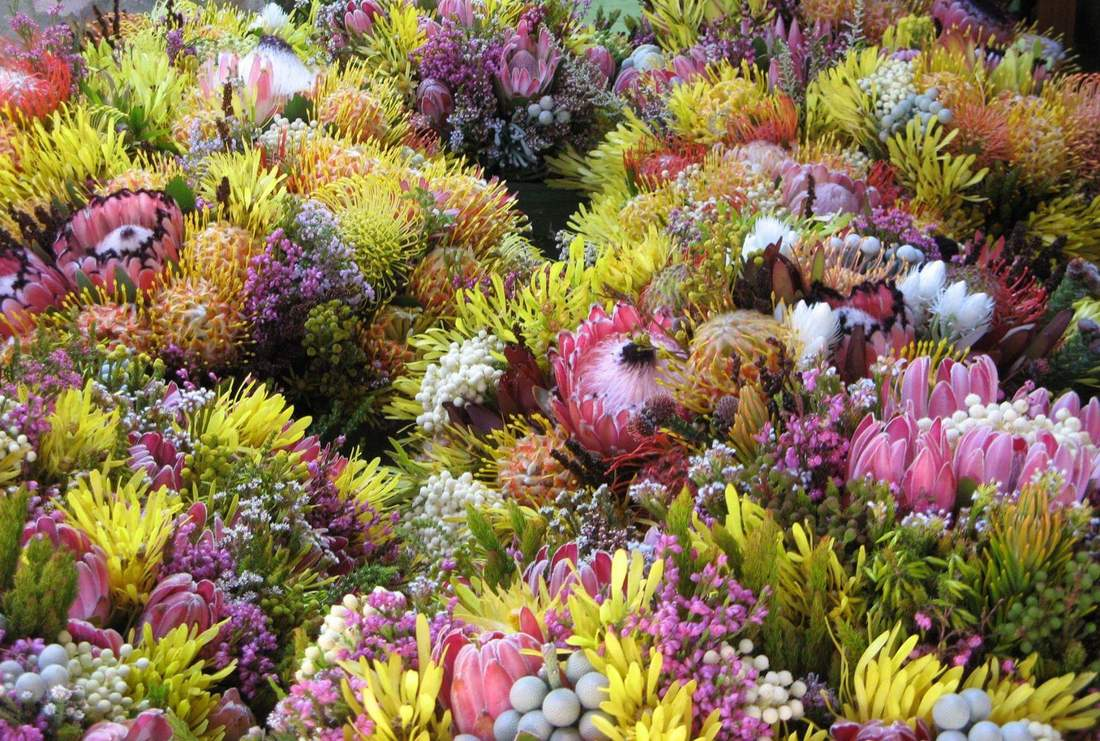 Fynbos flowers - Protea, Ericas, Restios in the Cape Floral Kingdom, Hermanus and Cape Town, South Africa