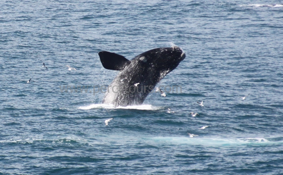 Whale watching walking or boat tours in Hermanus - breaching whale