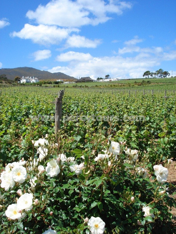 Wine estate, winery, wine tours, Hermanus wine region, near Cape Town, South Africa