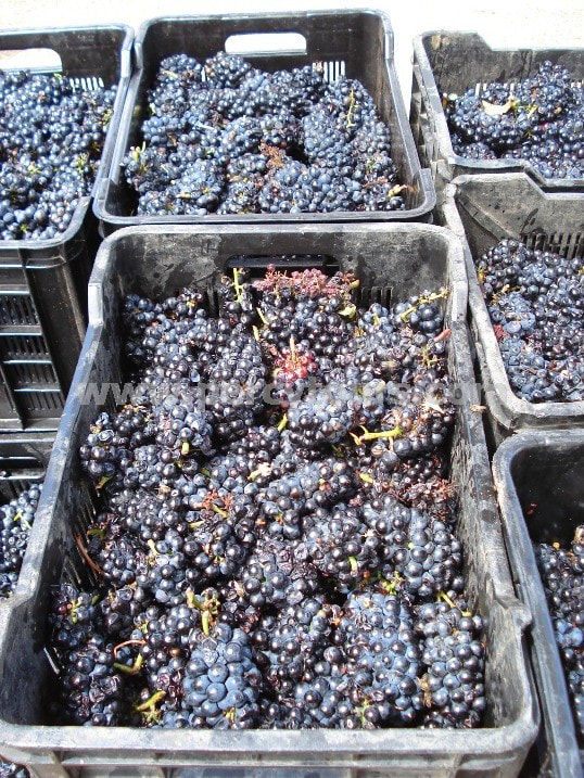 grape harvest, red wine grapes ready for crushing, winery, wine tours, Hermanus, near Cape Town, South Africa