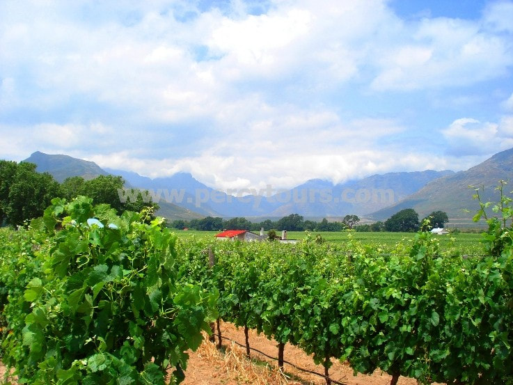 Wine vines, winery, wine tours, Stellenbosch, near Cape Town, South Africa